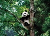 Panda Breeding & Research Center, Panda Breeding & Research Center Guide, Panda Breeding & Research Center Travel Tips.