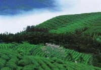 Dragon Well Tea Plantation, Dragon Well Tea Plantation Guide, Dragon Well Tea Plantation Travel Tips, Dragon Well Tea Plantation Travel Information.