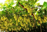 Grape Valley, Grape Valley Guide, Grape Valley Travel Tips, Grape Valley Travel Information.