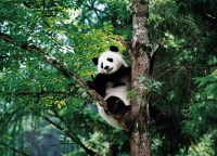Panda Breeding & Research Center, Panda Breeding & Research Center Guide, Panda Breeding & Research Center Travel Tips.